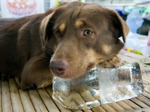 115068504-banfield-heatstroke-dog-cat-632x475